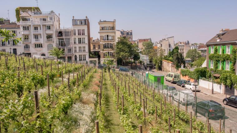 vigne de montmartre